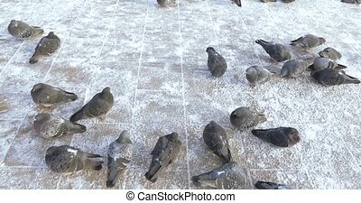 Pigeons in the snow
