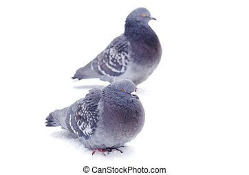 pigeons isolated on white background