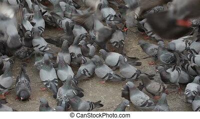 Pigeons. Nepal.