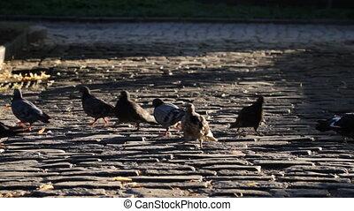 Pigeons on a cobblestone