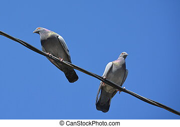 Pigeons on a wire-2