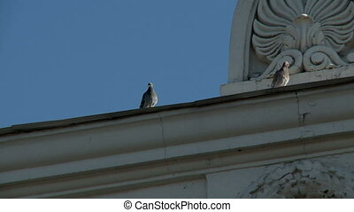 Pigeons on cornice of building, close-up - View of pigeons...