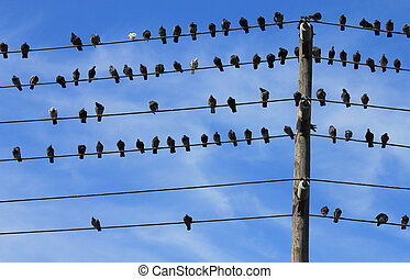 Pigeons on Electric Wire
