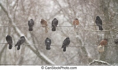 Pigeons on Electricity Cable - Pigeons resting on...
