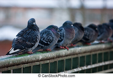 flock of urban pigeons on bridge railings