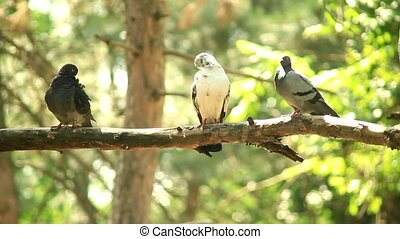 Pigeons on the branch