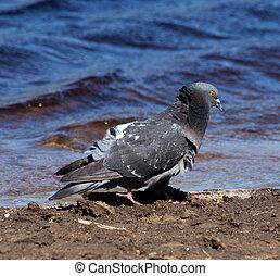 Pigeons on the lake