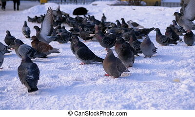 Pigeons on the snow in winter