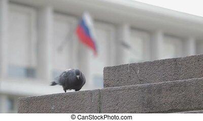 Pigeons on the street run - Pigeons on the street....