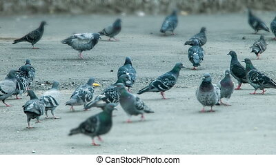Pigeons peck feed on the square