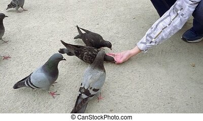 Pigeons pecking and eating food from human hand - Close-up...