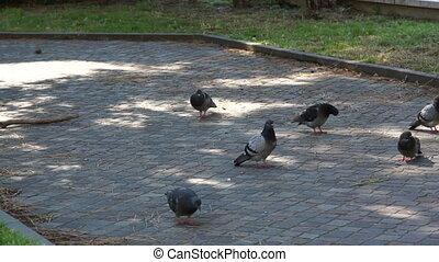 pigeons pecking bread on asphalt pa - Gray pigeons pecking...