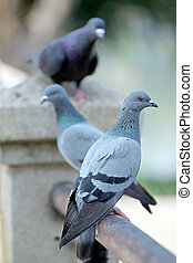 Pigeons perched on a wall. - The Pigeons perched on a wall.