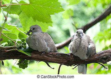 pigeons, pluie