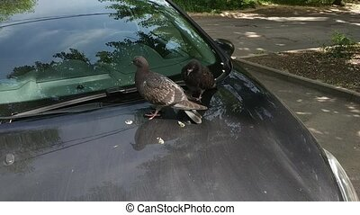 Pigeons resting on the hood of a car - Pigeons take a crap ...