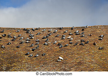 Pigeons roosting - Rock doves, or common pigeons, Latin name...