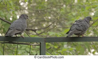 Pigeons sit on a green fence