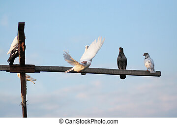 Pigeons sit on a wooden stick against the sky. Breeding pigeons.