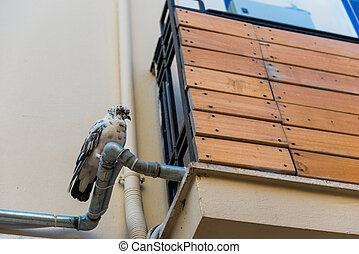 Pigeons sit on gutter pipe against the wall
