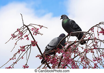 Pigeons sitting in a cherry tree covered in pink flower blossoms