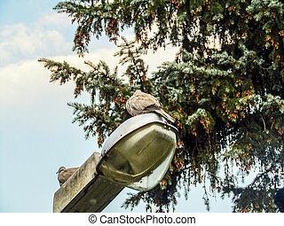 pigeons sitting on a lantern. photo