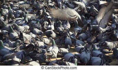 pigeons, slow motion.