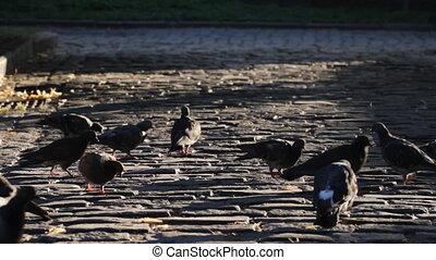 pigeons, sur, a, pavé