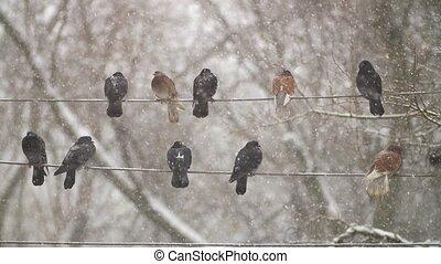 pigeons, sur, câble électricité