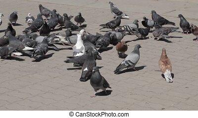 pigeons, surpasser, manger, groupe, pain
