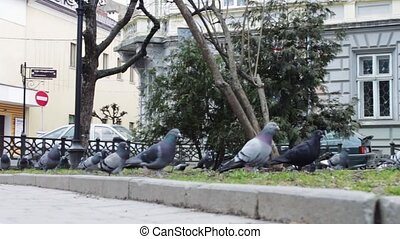 Pigeons walk in the park. Close