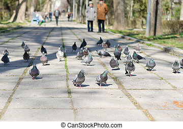 Pigeons walk on the road in the Park