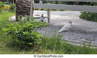 Pigeons walking in the park