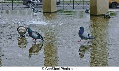 Pigeons walking over water of fountain FHD footage