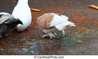 Pigeons with shaggy paws peck grains before the camera....