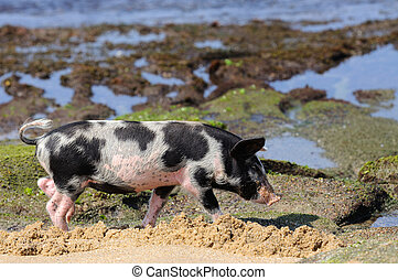 Piglet at beach