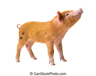piglet isolated on white
