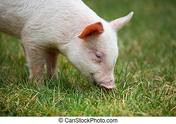 Piglet - Small piglet grazing in the middle of meadow