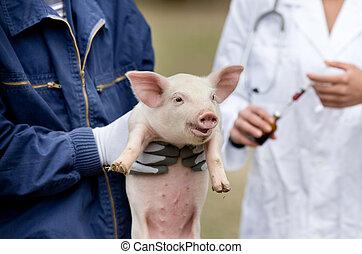 Piglet vaccination - Cute piglet in workers hands,...