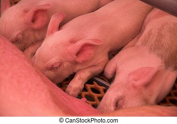 Piglets - Baby pigs feeding at sow.