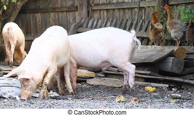 Piglets on the farmyard.