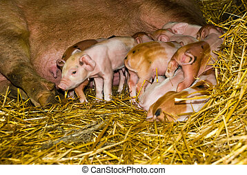 Piglets first hours of life - Close up of many little...