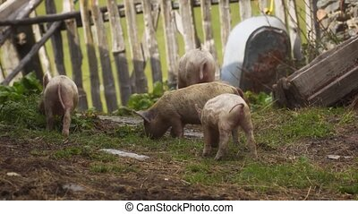 Group of piglets rooting around in their pen at this traditional, rural, Svan village in the Republic of Georgia.