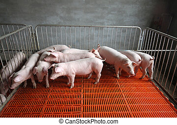 piglets in the enclosure