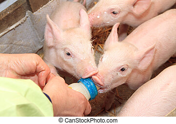 Piglets Milk Bottle