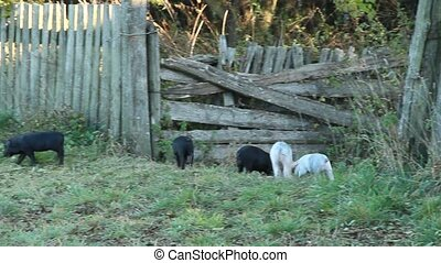 Piglets playing and jolly run in farm yard. Funny pigs. Baby...