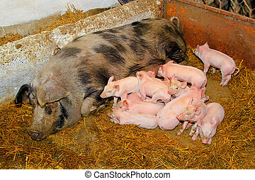 Piglets sucking - Dozen pink piglets sucking big sow in pen...