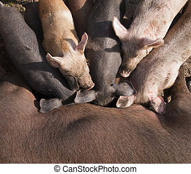 Piglets suckling from mother - Downshot of piglets suckling...