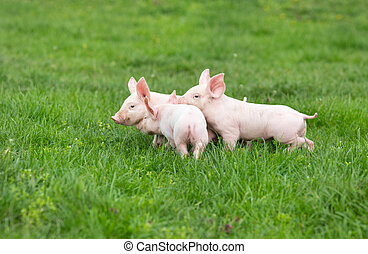 Piglets - Three cute piglets walking and playing on grass