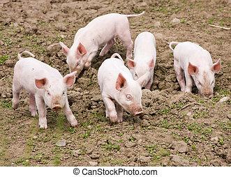 Piglets - Tiny piglets