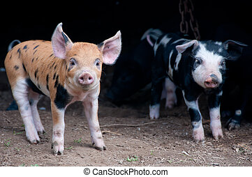 Two little piglets in their house on a farm